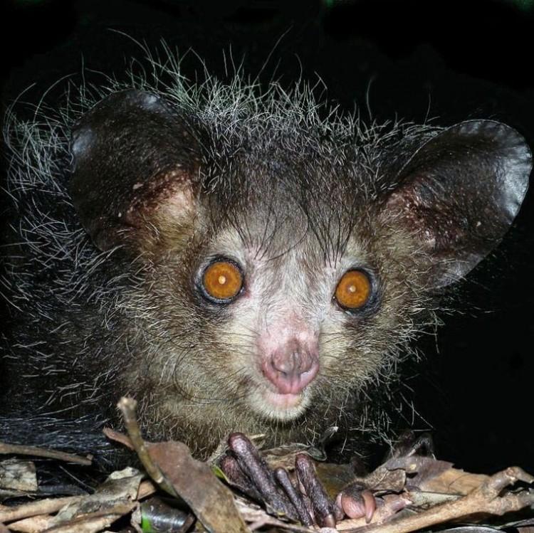 Aye-aye/ madagaskarski lemur.