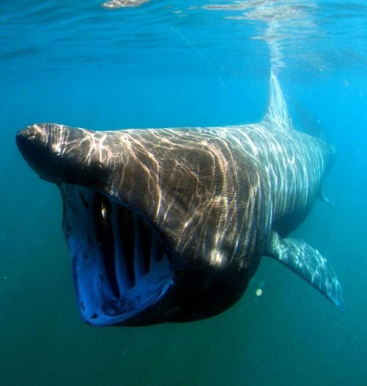 Żarłacz/Gigantyczny rekin.