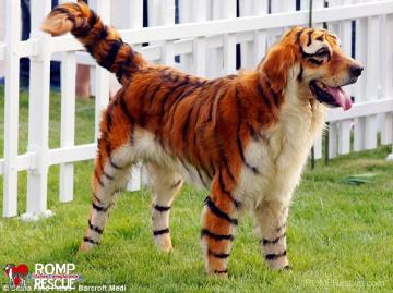 Zamienić psa na prawie tygrysa...