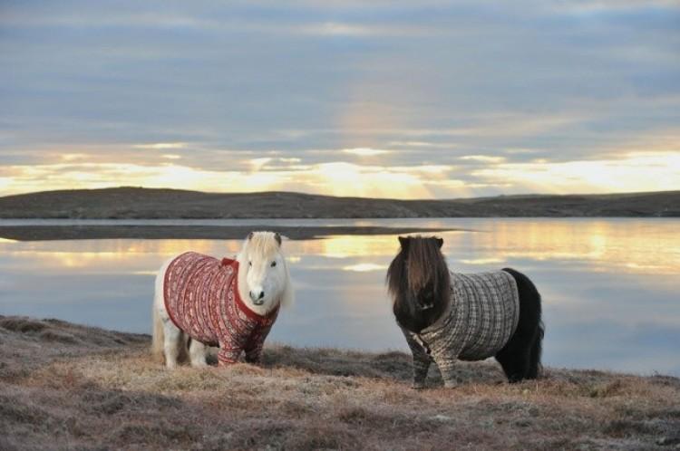 Te urocze kucyki szkockie w swetrach reklamują turystykę w Szkocji.