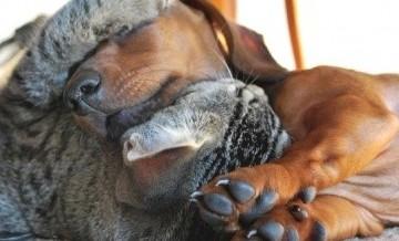 Koty, po uszy zakochani w swoich psach.
