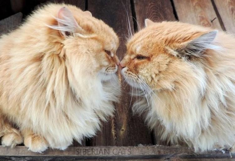 Syberyjskie koty.