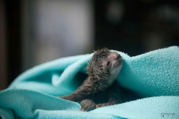 Niesamowita historia narodzin małego leniwca.