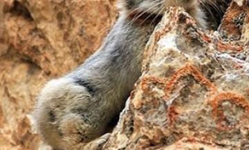 Rzadki królik, którego udało się sfotografować pierwszy raz od 20 lat.