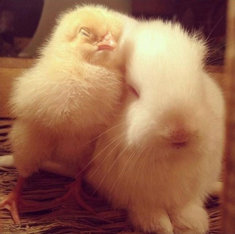 Kurczak i królik.
