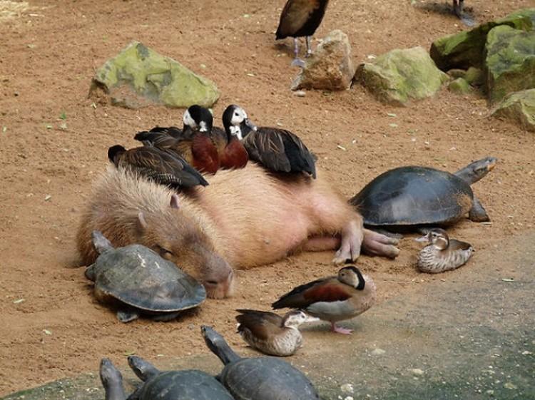 Kapibara z kaczkami.