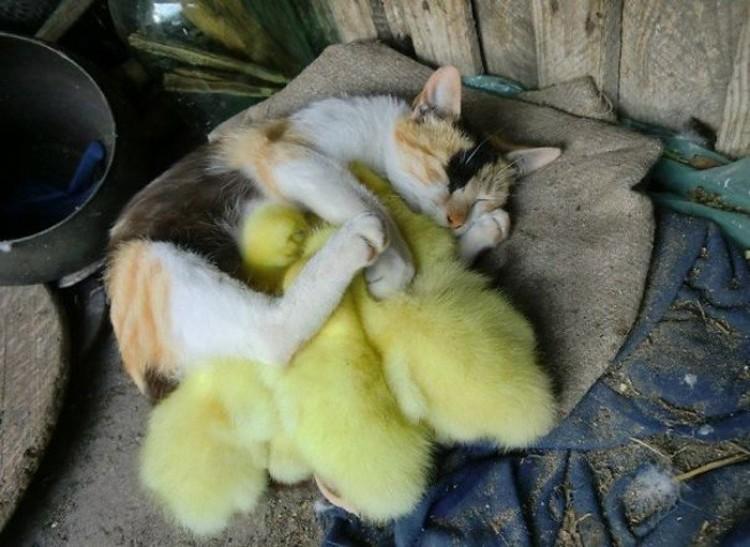 Kot z kurczakiem.