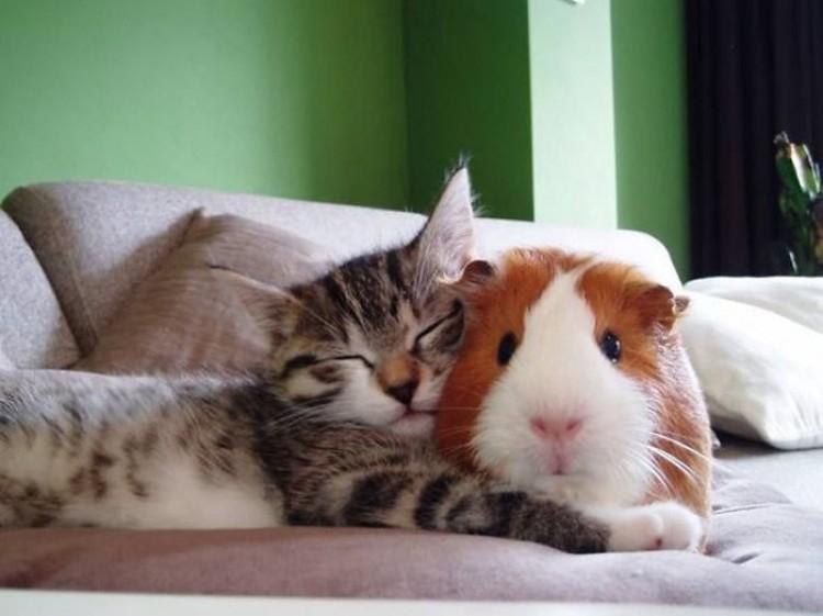 Świnka morska i kotek.