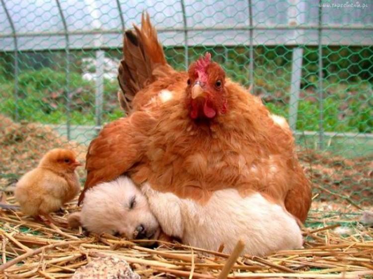 Kurczak z szczeniakiem.