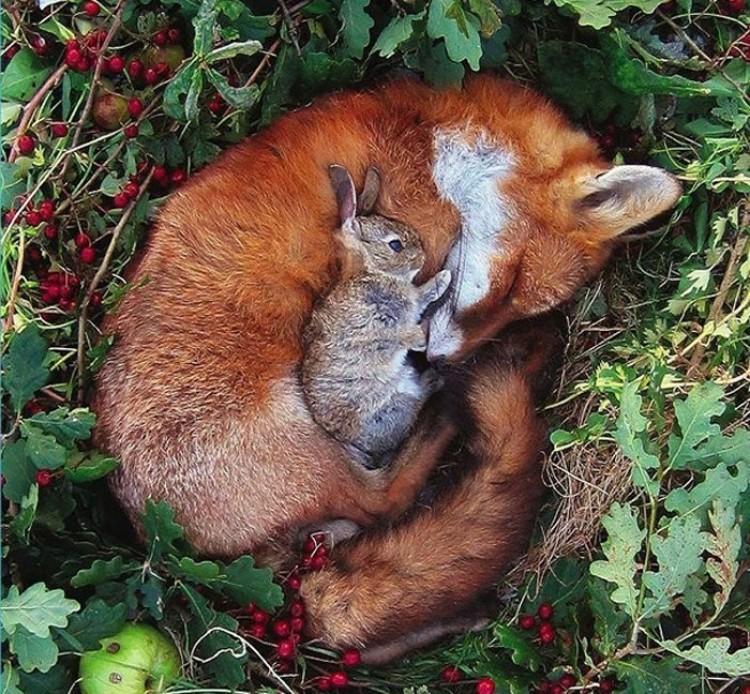 Lis z  króliczkiem.
