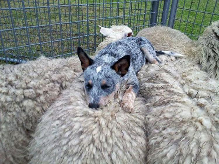 Pies z owcami.