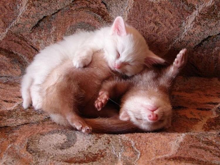 Tchórzofretka i kotek.