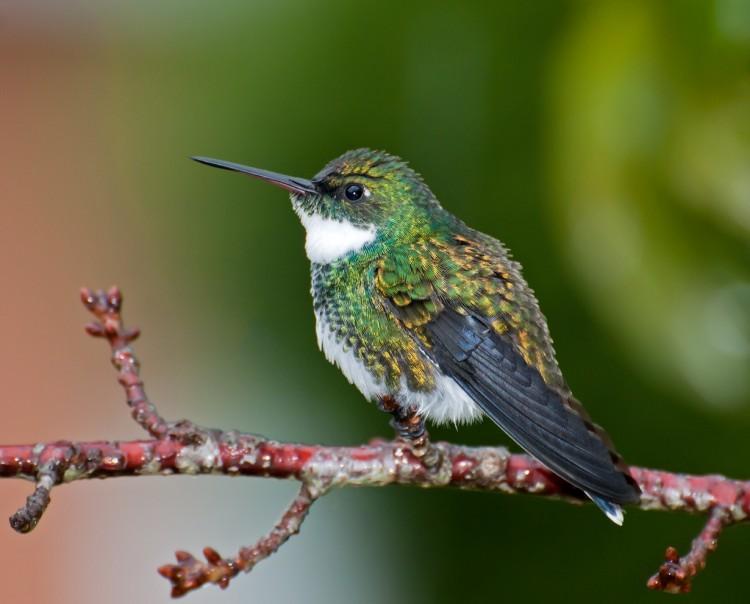 Najpiękniejsze gatunki kolibry.