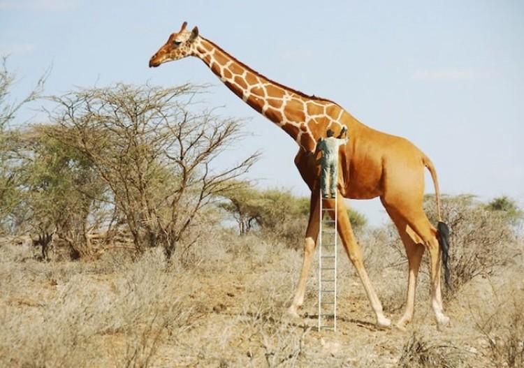Człowiek maluje żyrafie cętki.