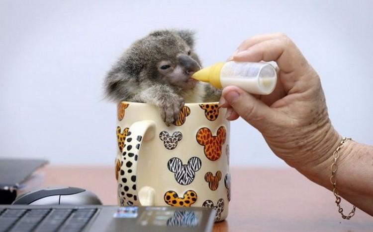 Koala Raymond.