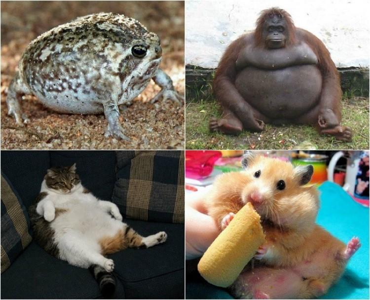 Tym tłuściochom zapewne nie zaszkodzi przejść na dietę.