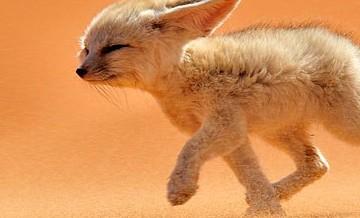 Najpiękniejsze lisy na świecie.