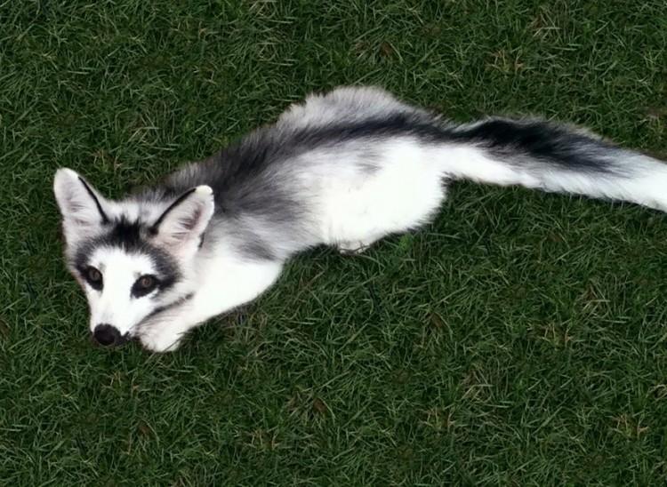 Marmurowy lis.