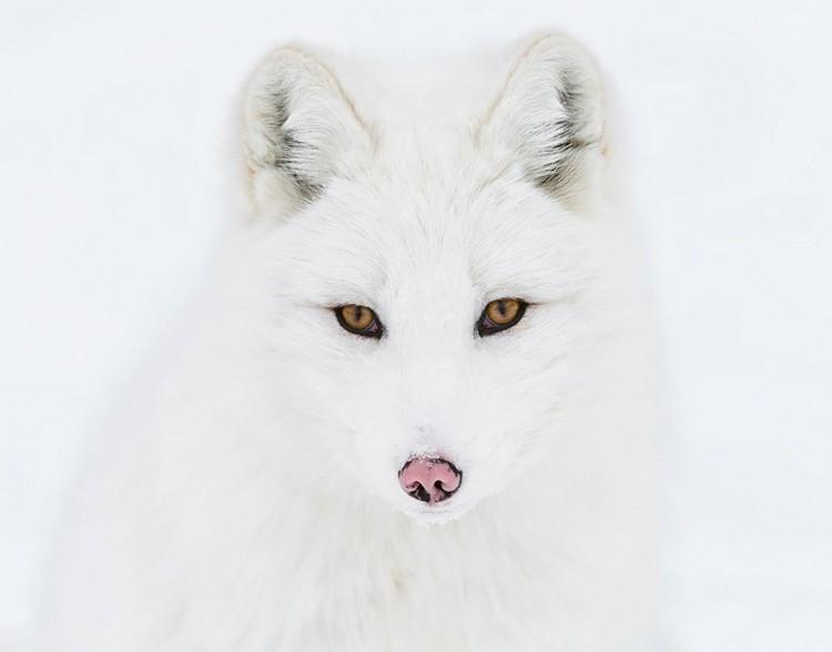 Lis polarny.