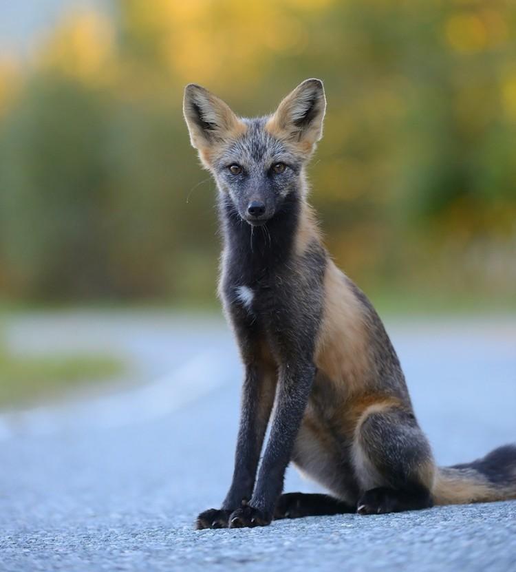 Cross Fox /Krzyżowy lis.