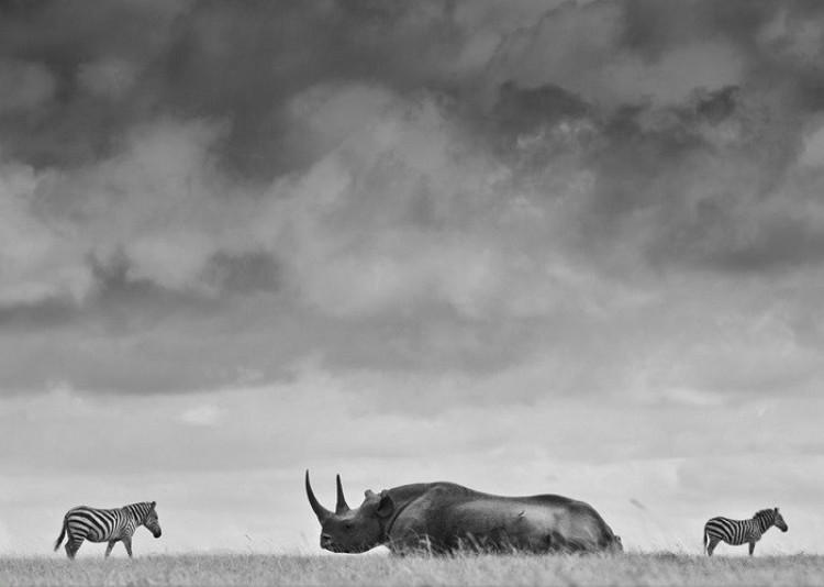 Nosorożec z zebrami pod groźnymi chmurami (Robin Moore)