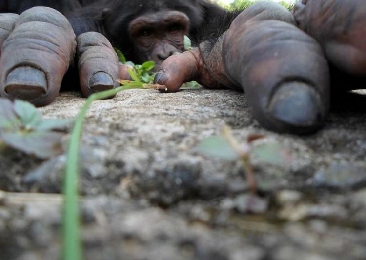 Ciekawski szympans  (Suzanne van Dalsen)