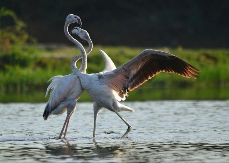 Piękne taniec flamingów (Amisha Patel)