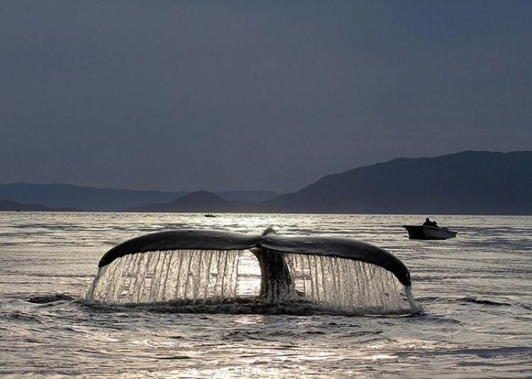 Taniec wieloryba u wybrzeży Ketchikan, Alaska (Barbara Greninger)