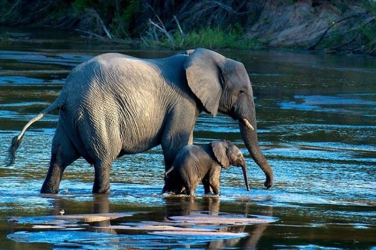 Słoń i słoniątko na spacerze (Doug Croft)