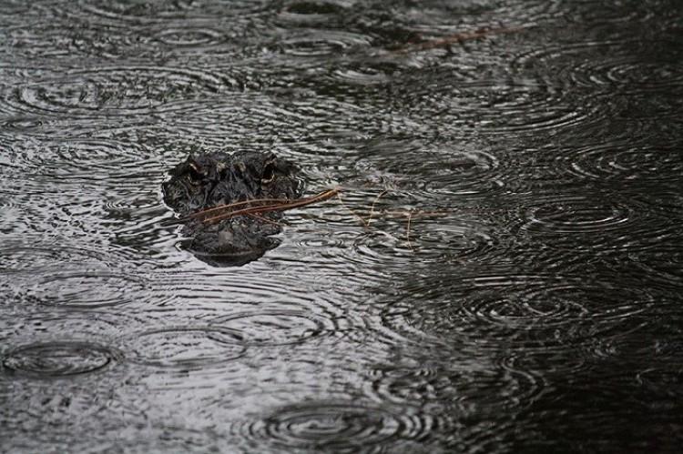 Aligator w deszczu (Candace Stroup)