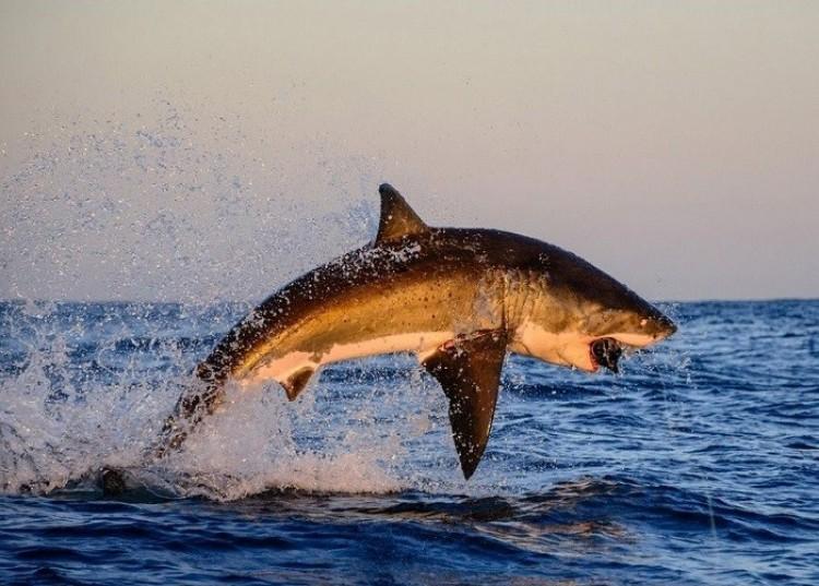 Biały rekin (Thomas Pepper)