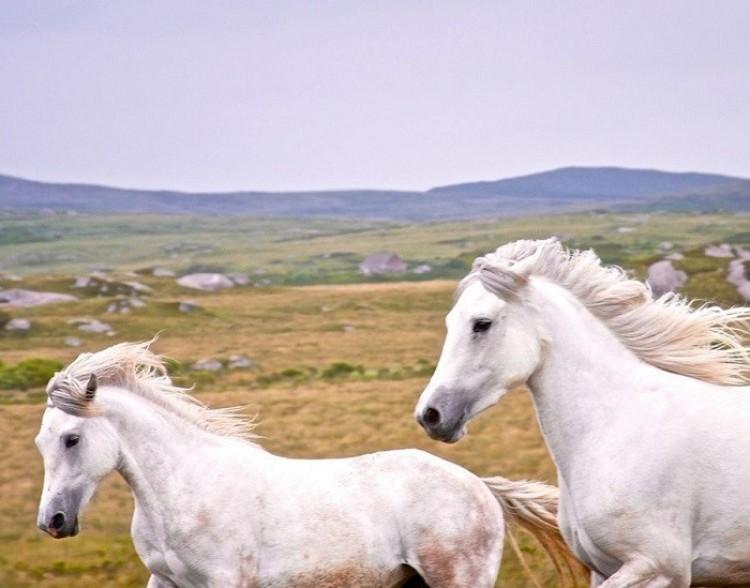 Białe konie (Joshua Boyd)