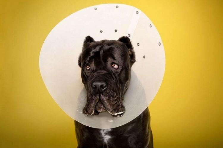 Nieszczęśliwi i obrażeni: psiaki  w hańbiących konusach.