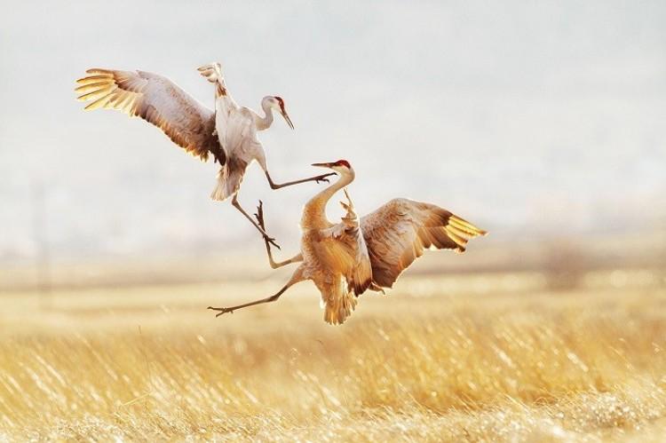 Żurawie kanadyjskie