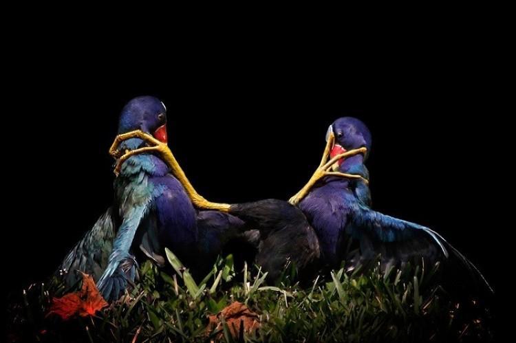 Gallinules fioletowey