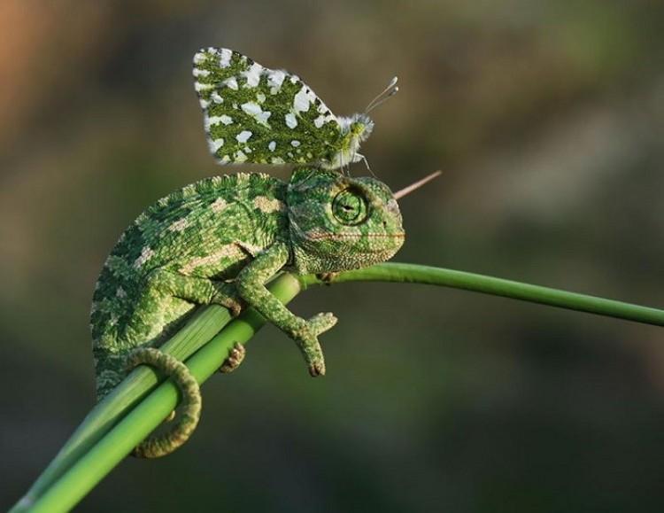 Motyl i kameleon są dla siebie stworzeni.