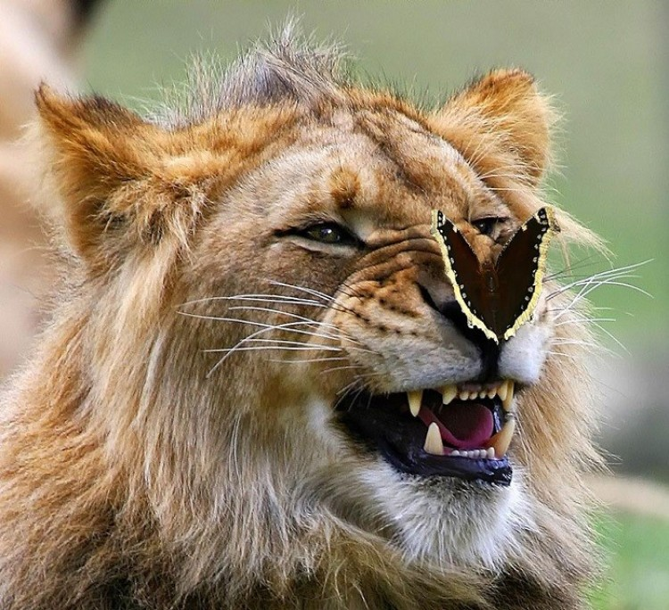 Uśmiechnięty lew.