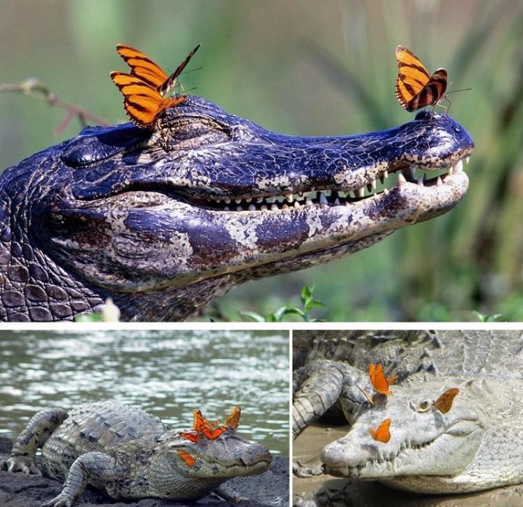 Krokodyle delektują się słońcem i motylkami.