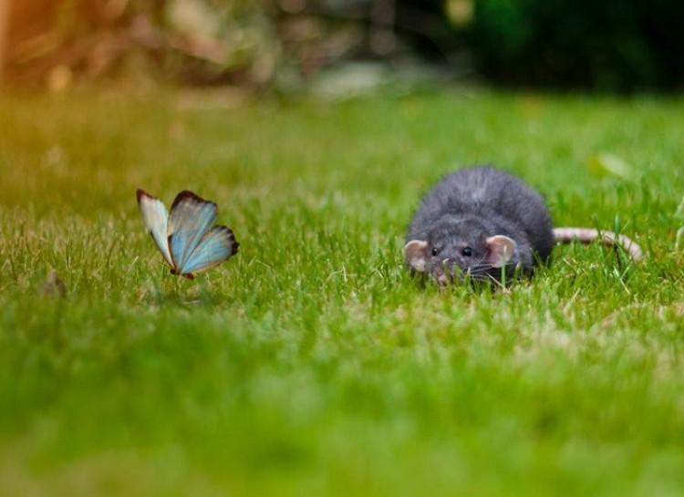 Szczur poluje na motyla.