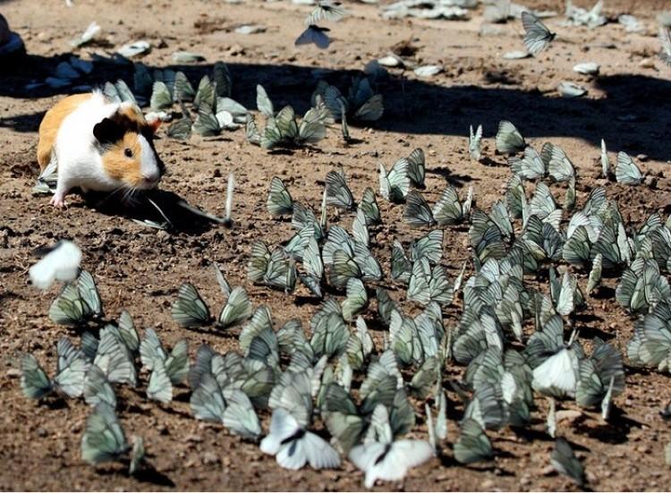 Świnka morska otoczona przez motyle.
