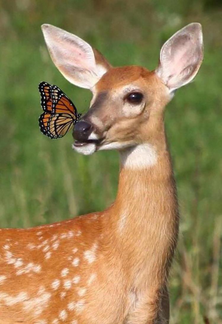 Pierwsze spotkanie jelonka z motylem.