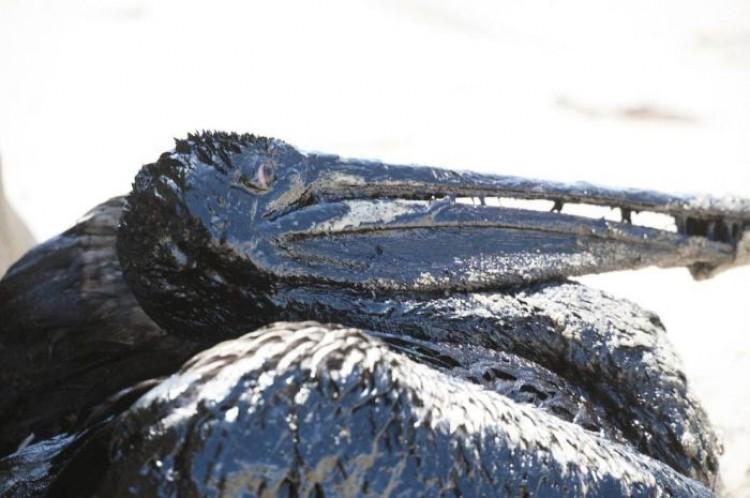 Pelikan z ropy