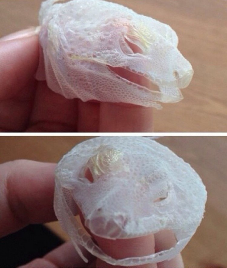 Jaszczurka zrzuciła całą skórę z głowy jednym ruchem