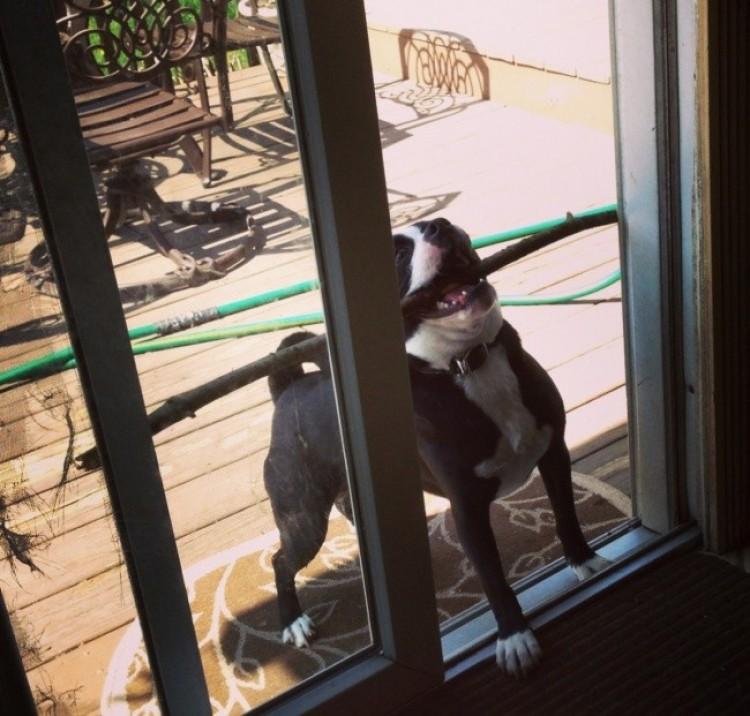 Pies jest szczęśliwy, że znalazł największy, jego zdaniem, patyk.