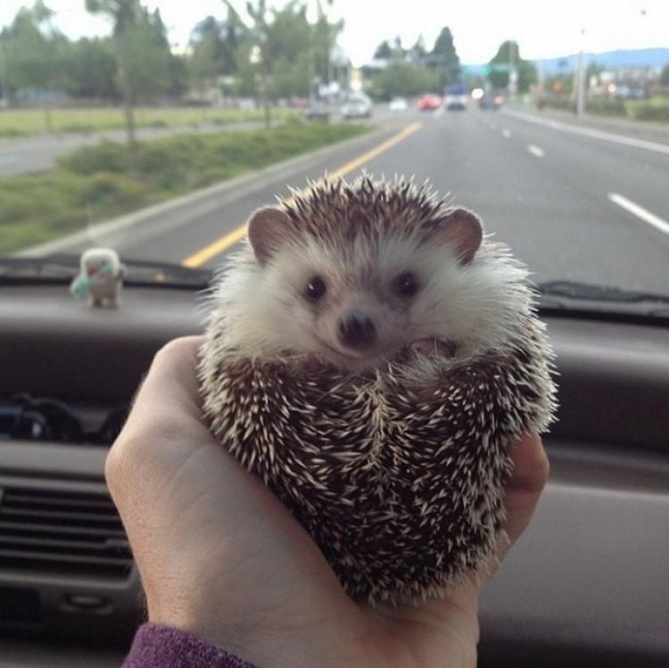 Jeż, wydaje się, lubi podróże!