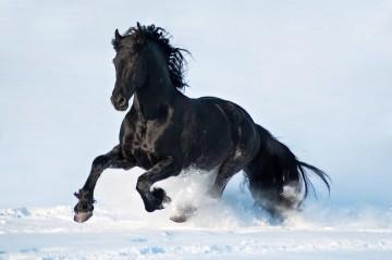 Fryzyjski koń.