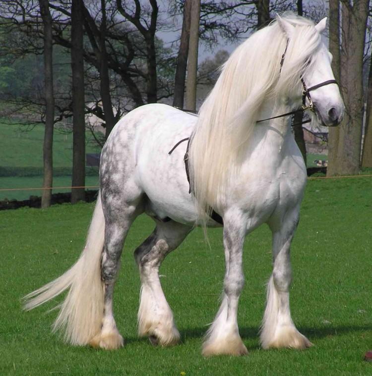 Perszeroński koń.