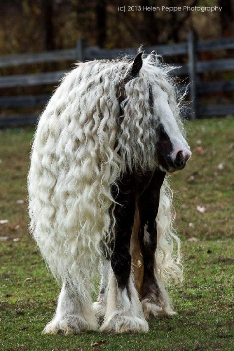 Koń cygański.