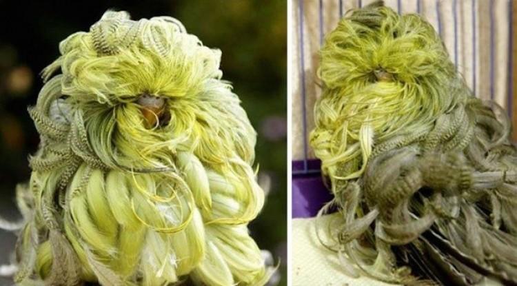 Papuga falista chryzantemowa.