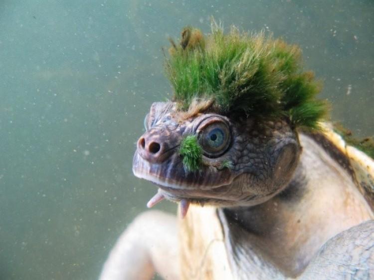 Żółw rzeczny.